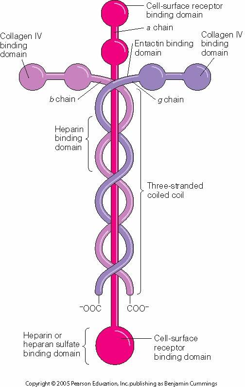 laminin molecule